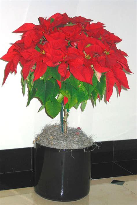 poinsettia topiary tree a plant affair llc los angeles leading interior plant