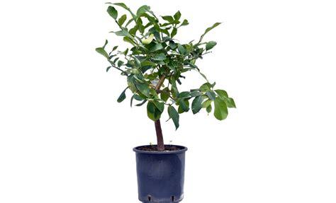 pianta limoni in vaso pianta di limone pane in vaso 20 22 cm savini vivai di