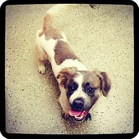 shih tzu basset hound mix grand bay al basset hound shih tzu mix meet lennon a for adoption