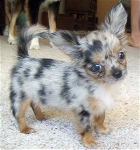haired chihuahua puppies for sale in pa teacup haired chihuahua puppies for sale