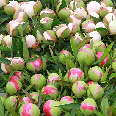 unbloomed peonies peony care tree herbaceous intersectional