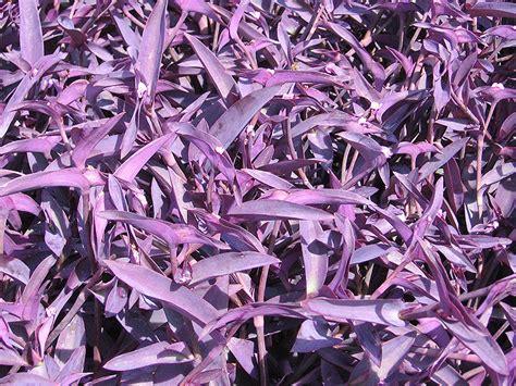 purple heart spider lily tradescantia pallida purple