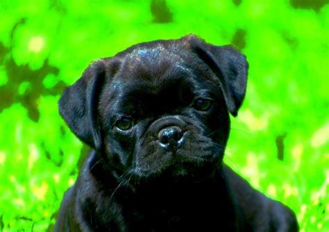 retro mops pug for sale 26 best images on animals and beagles