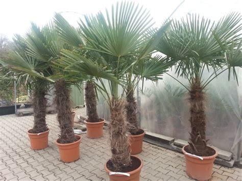 winterharde palmboom in tuin trachycarpus fortunei palmboom palmbomen te koop