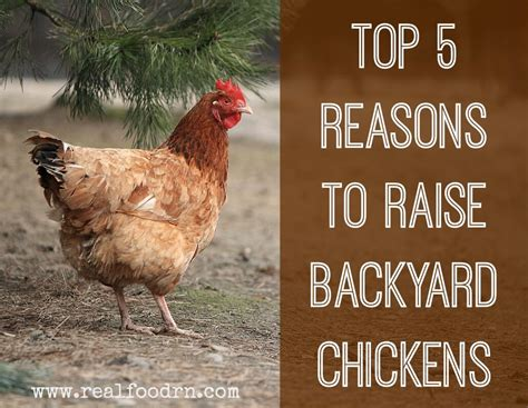 raise chickens in backyard how to raise backyard chickens for eggs 28 images all