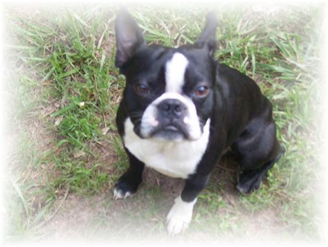 pictures of boston terrier puppies boston terriers images bostons