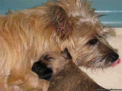 price of westie puppies cairn terrier puppies for sale
