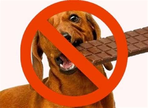 symptoms of chocolate poisoning in dogs safety tips pets world