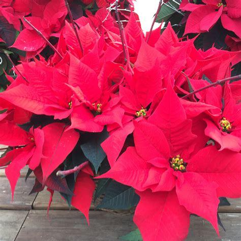 Weihnachtsstern Pflegen by Weihnachtssterne Richtig Pflegen Mypfadfinder