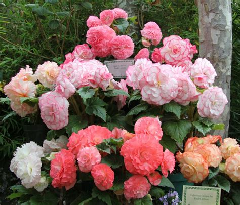 12 best images about begonias on pinterest plants the
