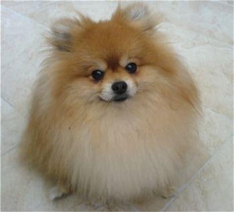pomeranian puppies for sale in cedar rapids iowa best 25 pomeranian breed ideas on