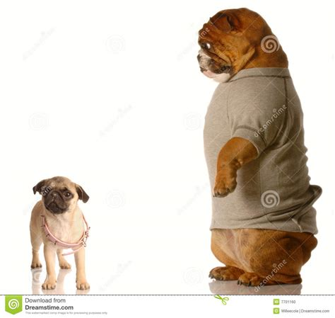 pug growth puppy growth concept stock photo image 7701160