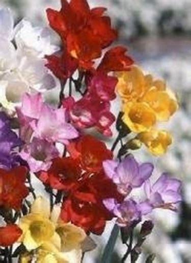 fiori senza luce bulbi senza fiori domande e risposte giardino