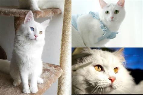 Fotos De Gatos Gatos Angora Gemelos Jpg Pictures To Pin On Pinterest   fotos de gatos gatos angora gemelos jpg pictures to pin on