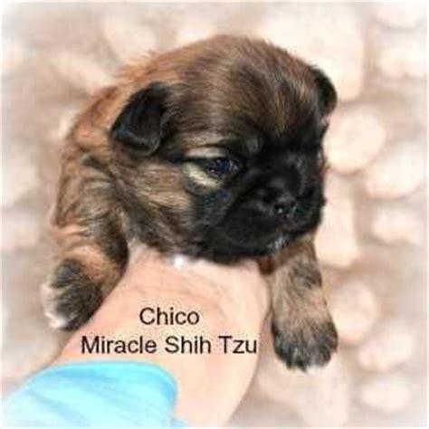 shih tzu puppies for sale in nebraska shih tzu puppies for sale in ne ohio cleveland akron