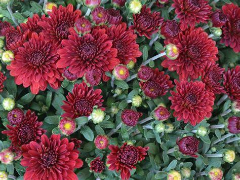 mum flower arrangement pink jpeg types of mums hgtv