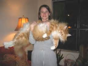 Biggest house cat in the world believe it or not this image was not a
