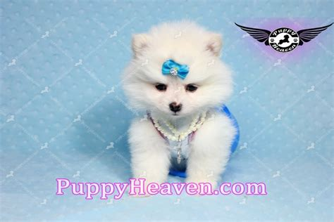 pomeranian puppies los angeles snowball teacup pomeranian puppy in los angeles found a