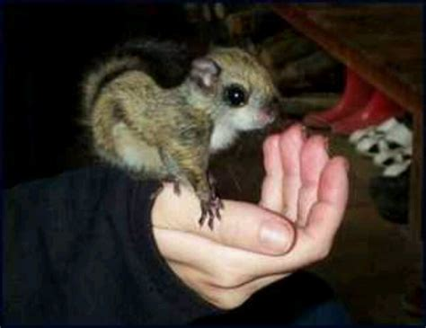 pet flying squirrel creatures critters pinterest