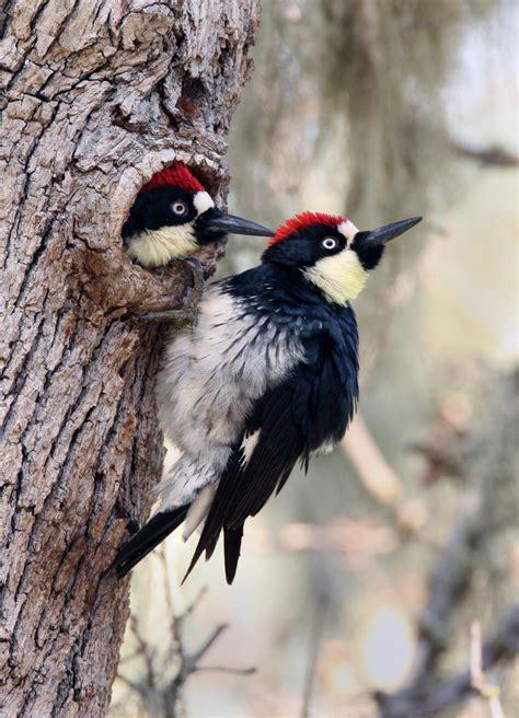 acorn woodpeckers acorn woodpeckers melanerpes