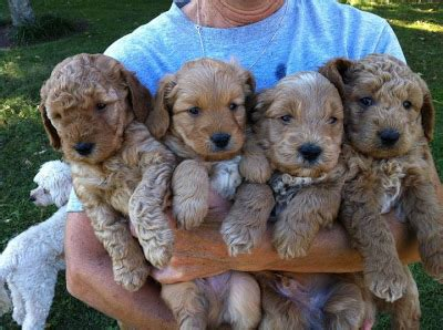 doodle puppies for sale ky goldendoodles by rosie mini doodles in kentucky