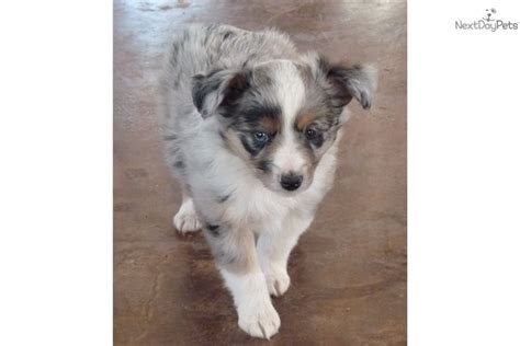 australian shepherd puppies for sale in oklahoma australian shepherd puppies for sale near oklahoma city design breeds picture