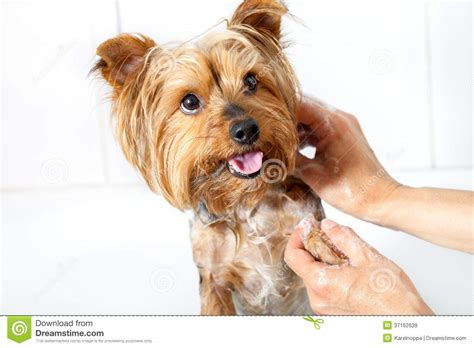 how to wash a yorkie washing royalty free stock images