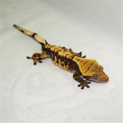 Gecko Heat L by Crested Gecko Rhacodactylus Ciliatus