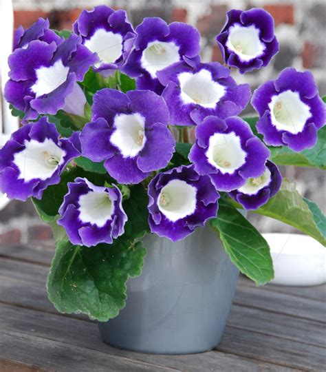 gloxinia princess elisabeth for sale buy online for 163 3 99