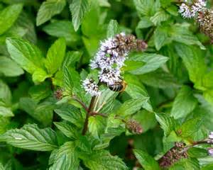 Flowering Plants For Shade Gardensonline Mentha Pulegium