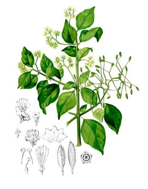 Shuang Gou Teng digkit pisonia aculeata pull back xian guo teng philippine medicinal herbs