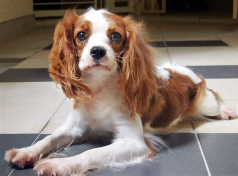 cavalier king charles spaniel puppies for adoption cavalier king charles spaniel dogs for adoption and rescue breeds picture
