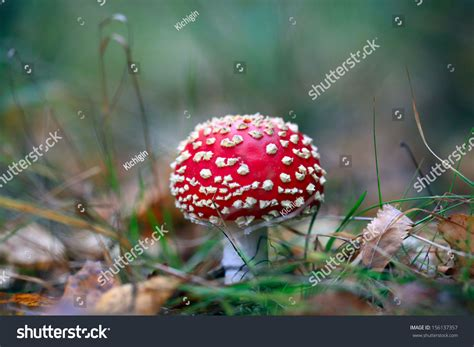 Herbal Drink Agaric Fly Agaric Stock Photo 156137357