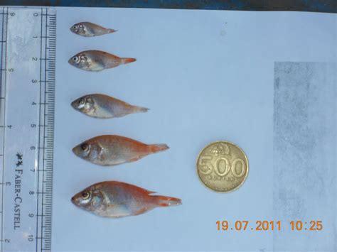 Bibit Ikan Nila Aceh jual bibit nila merah gurami soang