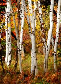 fall birch trees reusable wall murals dezign with a z