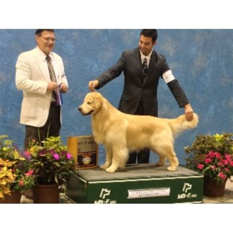 golden retriever breeders in kansas picabo golden retrievers golden retriever breeder in milltown new jersey