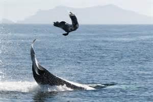 les myst 233 rieuses cultures des orques antarctique free dolphins belgium
