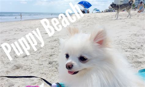 how to take care of a teacup pomeranian teacup pomeranian goes to puppy funnycat tv