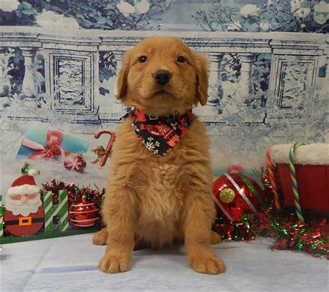 golden retriever puppies illinois free view ad golden retriever puppy for sale illinois chicago usa