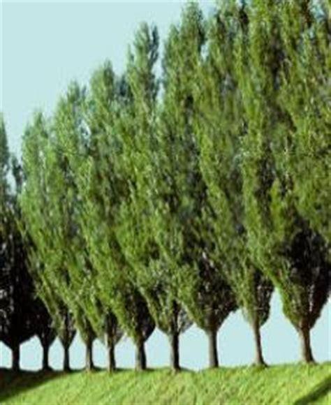 popular trees lombardy poplar thuja gardens