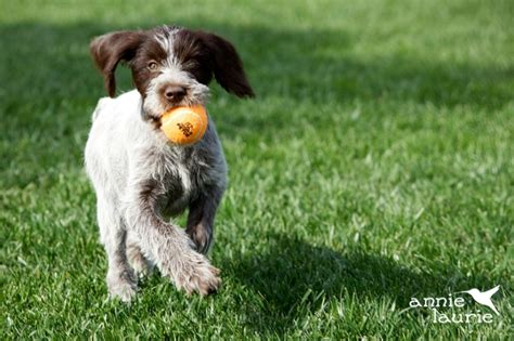 sporting dogs non sporting breeds by breeds picture