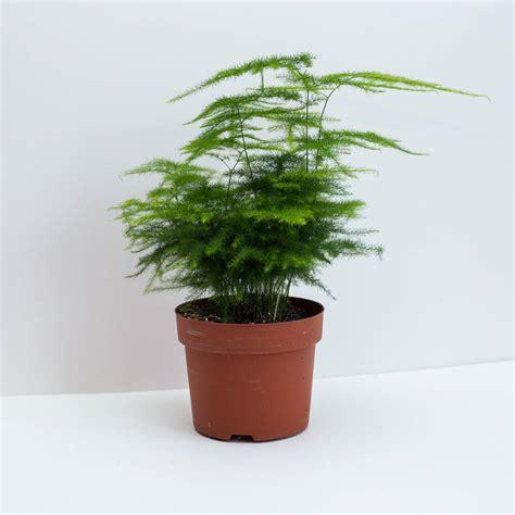 asparagus fern also known as plumosa fern house plant by okconcrete notonthehighstreet com