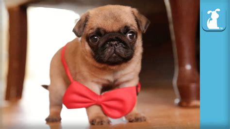 the pet collective pugs handsome pug puppy wears bowtie like a gentleman puppy pug