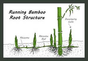 growing bamboo jesse garden