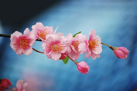blossom cherry picture file cherry blossom 2942368143 jpg wikimedia commons