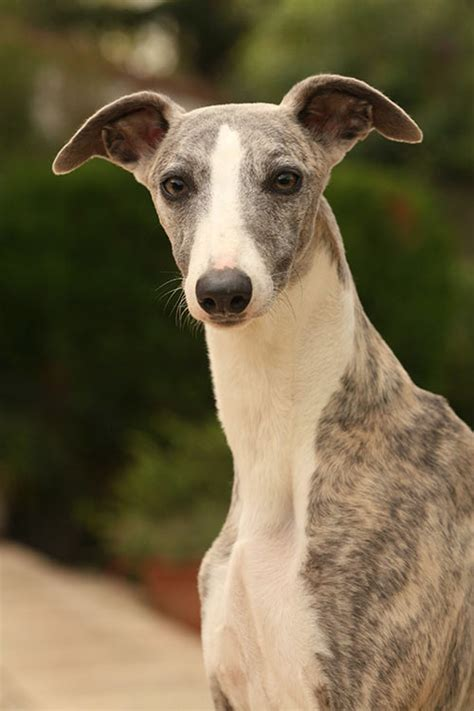 whippet american kennel club