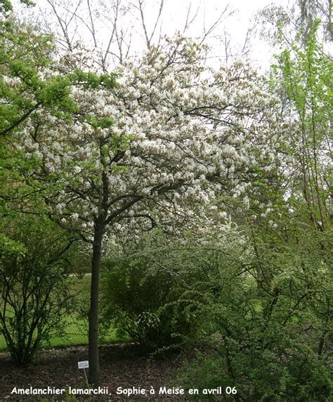 alberello da giardino un delizioso alberello da giardino amel 224 nchier lamarckii