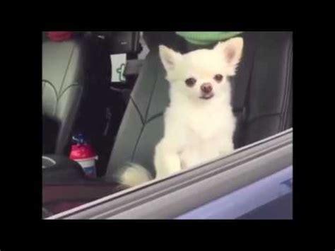 sleepy chihuahuas  car youtube