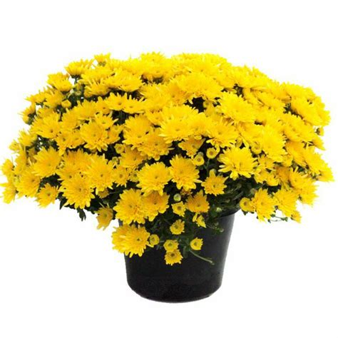 Jual Bibit Bunga Chrysant jual bibit tanaman hidup bunga krisan kuning yellow