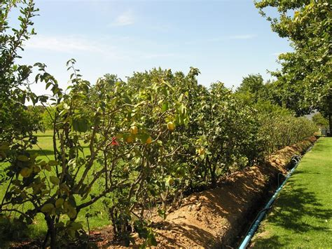 do quince trees make good hedges tips for growing a fruiting quince hedge